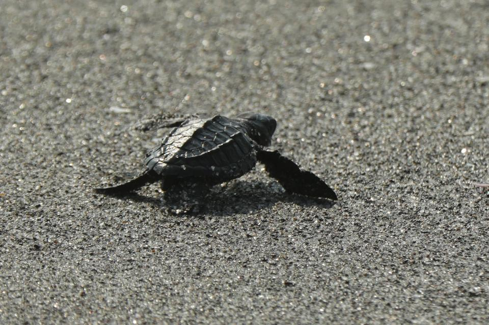 Baby turtle doing her first steps to the ocean