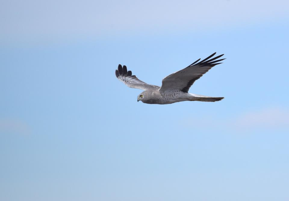 Northern harrier at Seedskadee National Wildlife Refuge