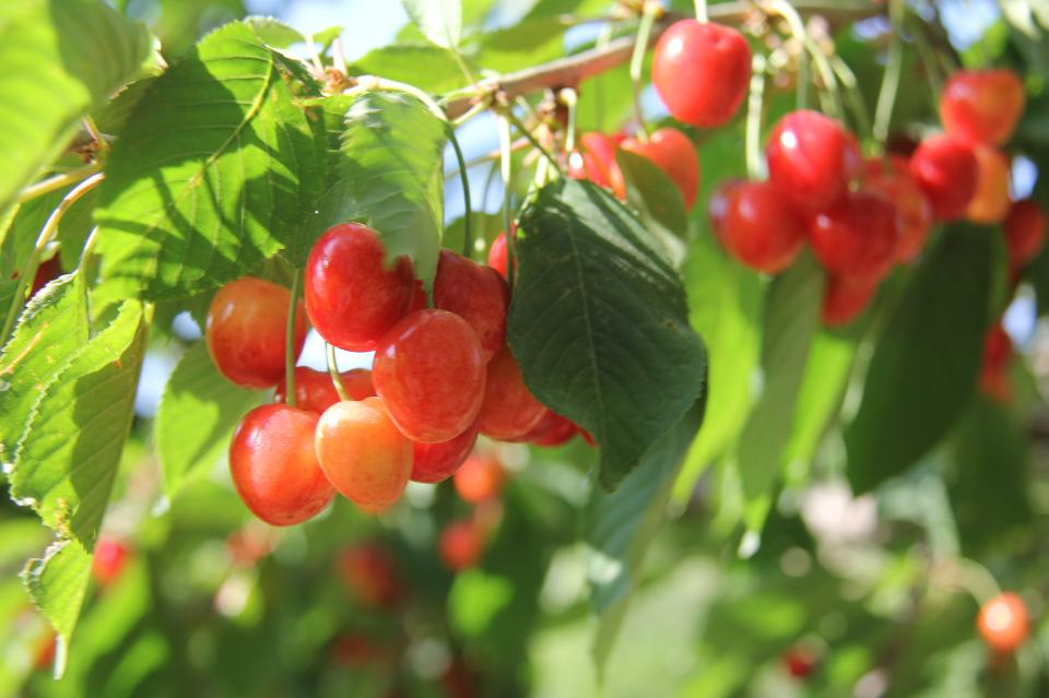 Ripe cherries hanging from a cherry tree branch.