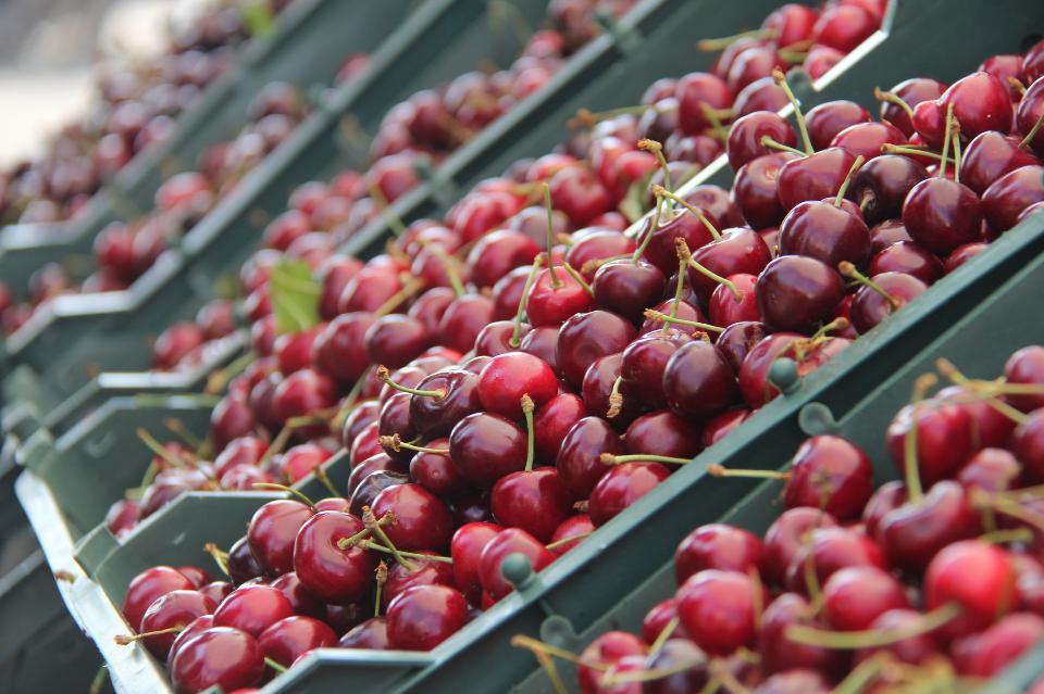 Close up of pile of ripe cherries