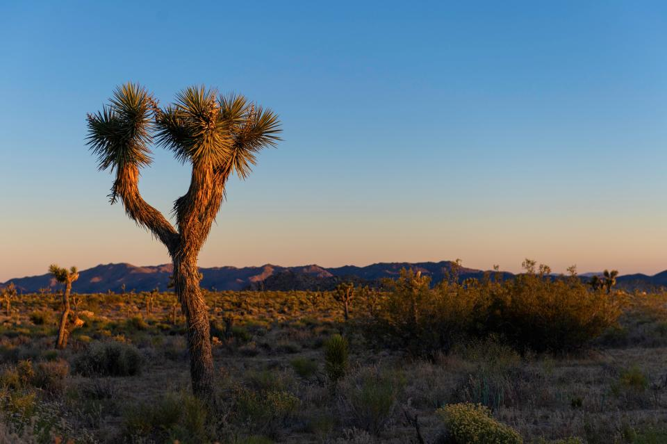 Joshua tree in Queen Valley at Sunset