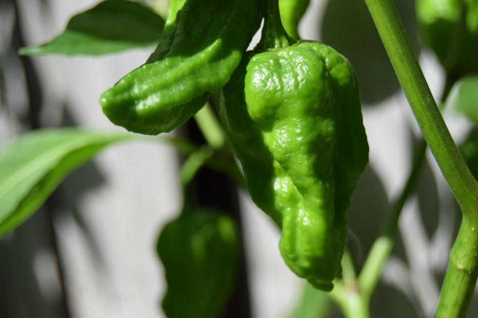 green peppers growing in the garden